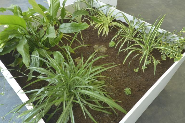 An Encounter with Chlorophytum Comosum