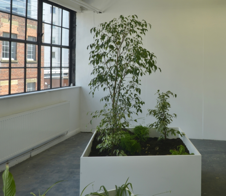 An Encounter With Three Ficus Benjamina